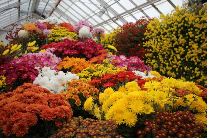 Fall Chrysanthemum Show