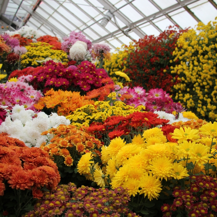 Fall Chrysanthemum Show